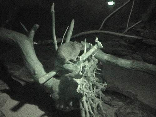 Nocturnal creature.