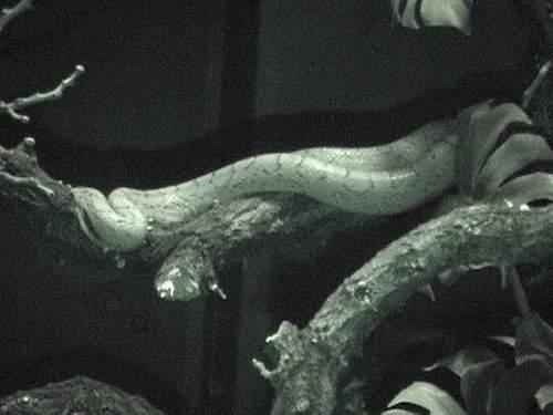 Nocturnal snake.