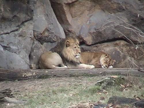 Lion pair.